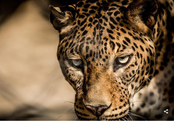 Купить фотообои Пристальный взгляд леопарда на Wall-photo ...  Взгляд Леопарда